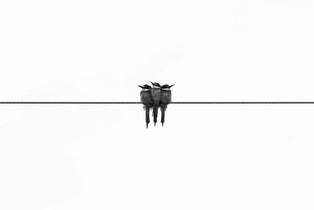 three birds on a line