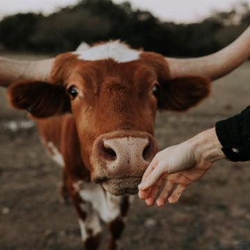 Long horn cow